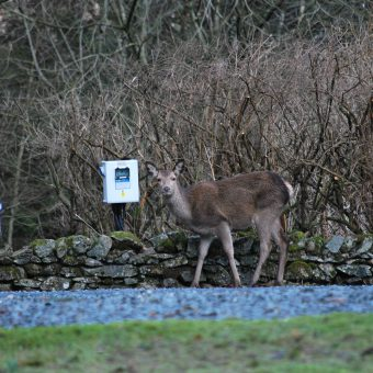 Roe deer on the Skelwith Fold touring pitches