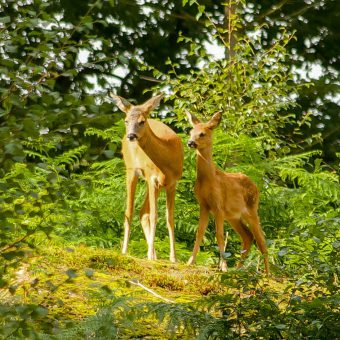Roe deer at Skelwith Fold Caravan Park in the Lake District