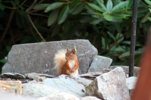 Red squirrel by Skelwith Fold touring pitches
