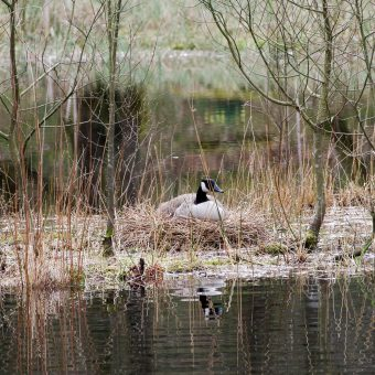 Goose nesting at Skelwith Fold Caravan Park
