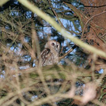 Owl gazing through the trees at Skelwith Fold