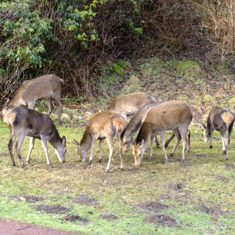 Roe Deer grazing at Skelwith Fold Caravan Park