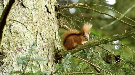 Red squirrel at Skelwith Fold Caravan Park