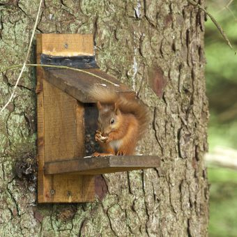 Red Squirrel at Skelwith Fold feeder
