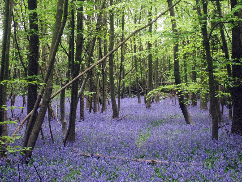 Nature Spotting whilst staying at Skelwith Fold Caravan Park: Bluebells