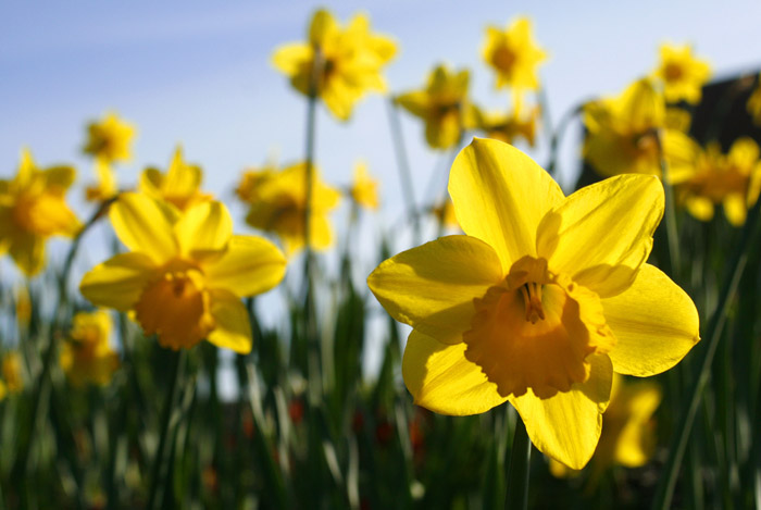Nature Spotting whilst staying at Skelwith Fold Caravan Park: Daffodils