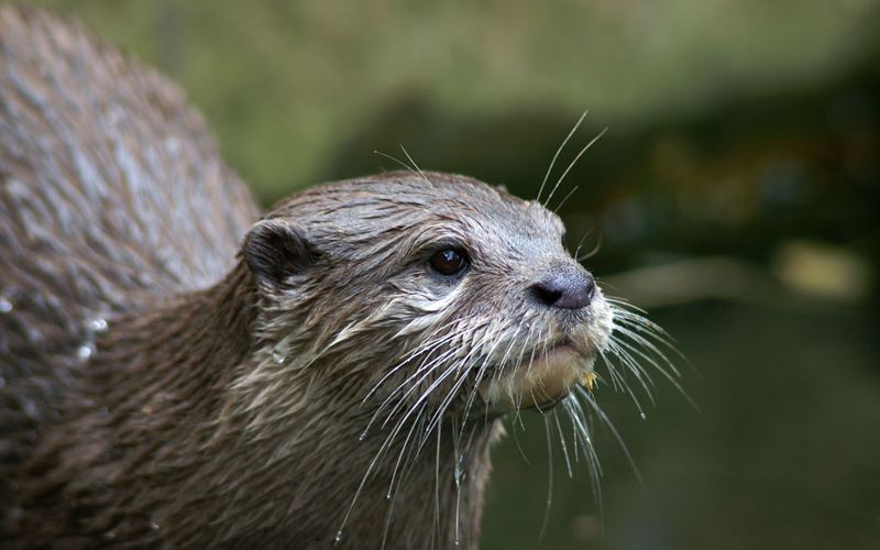 Image from Wikipedia. Otters. Wildlife spotting in the Lakes.