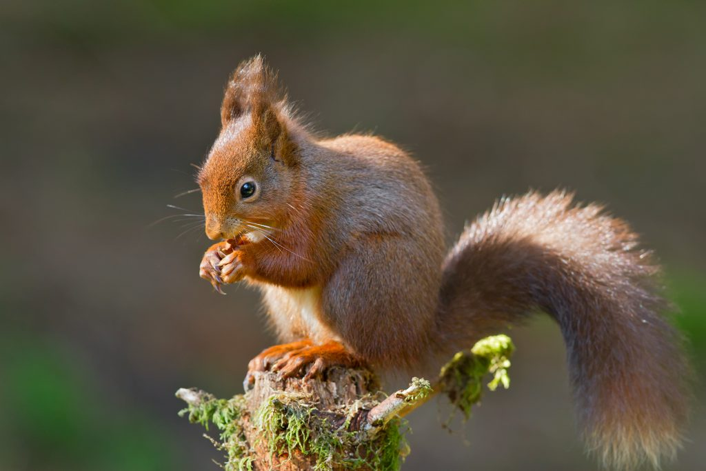 Spot a Red squirrel around Skelwith Fold Caravan Park