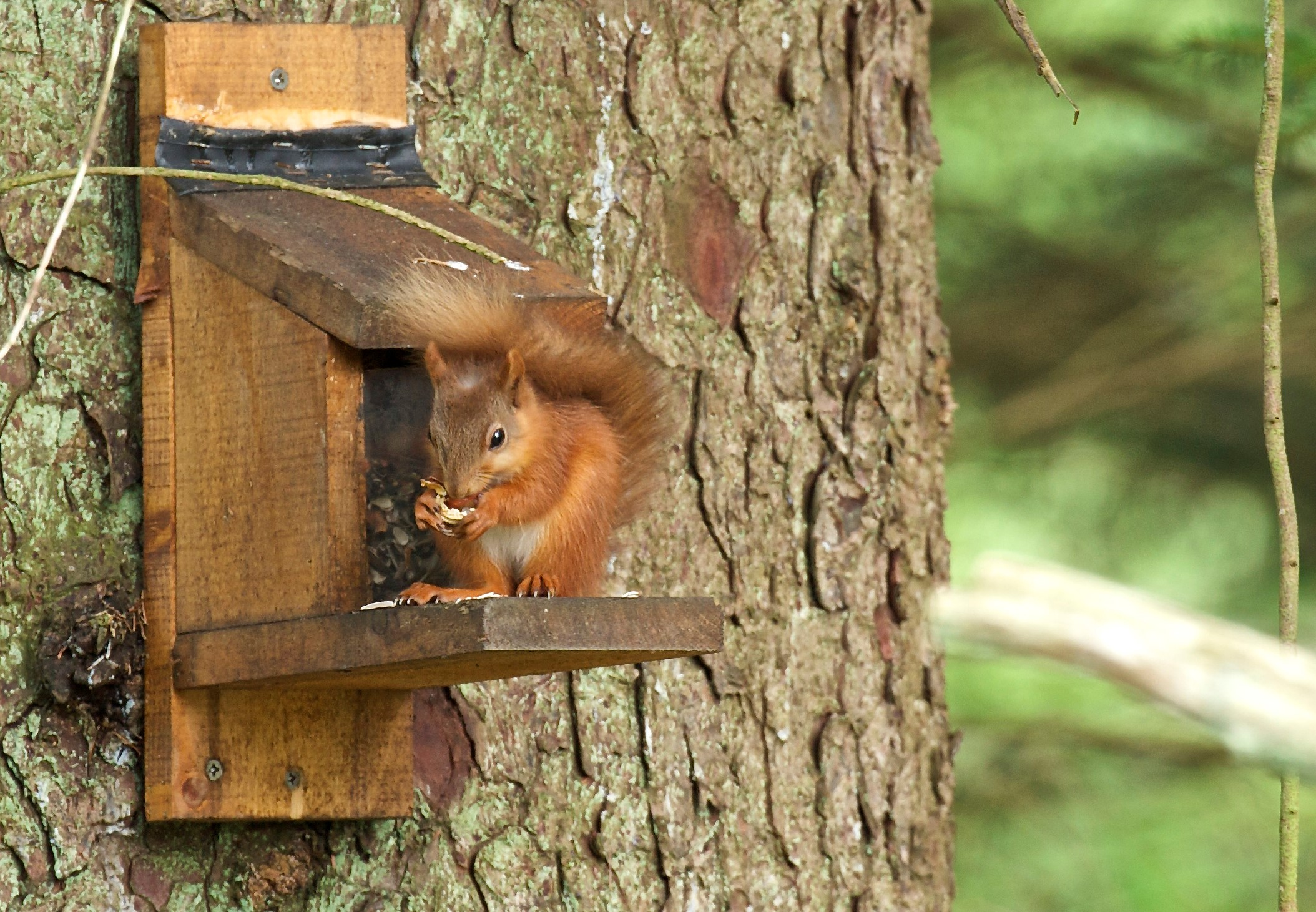 Red squirrels at Skelwith Fold