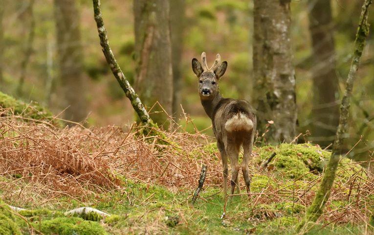 Deer at Skelwith Fold