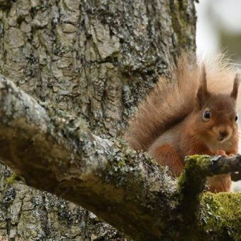 Red Squirrel at Skelwith Fold
